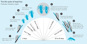Lifecycle of lice.